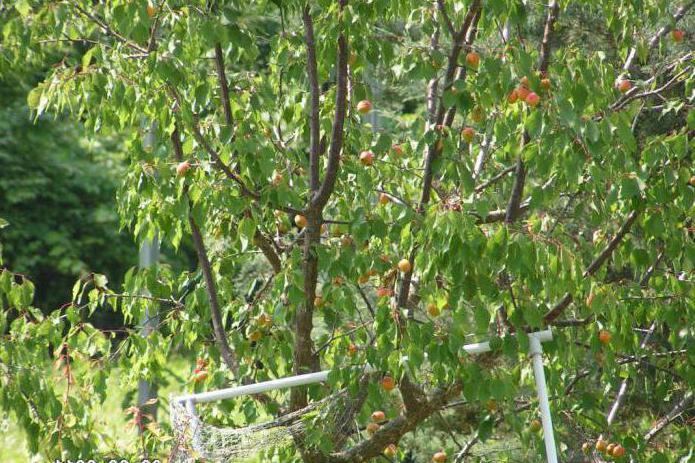 Посадка и уход абрикоса весной в средней полосе, как и когда правильно посадить