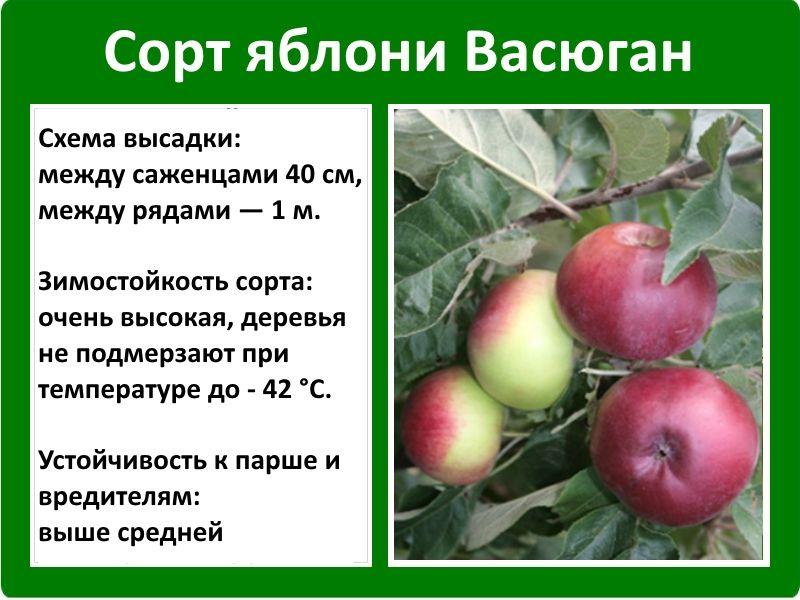 Описание и характеристики сорта яблони чемпион, история и нюансы выращивания - всё про сады