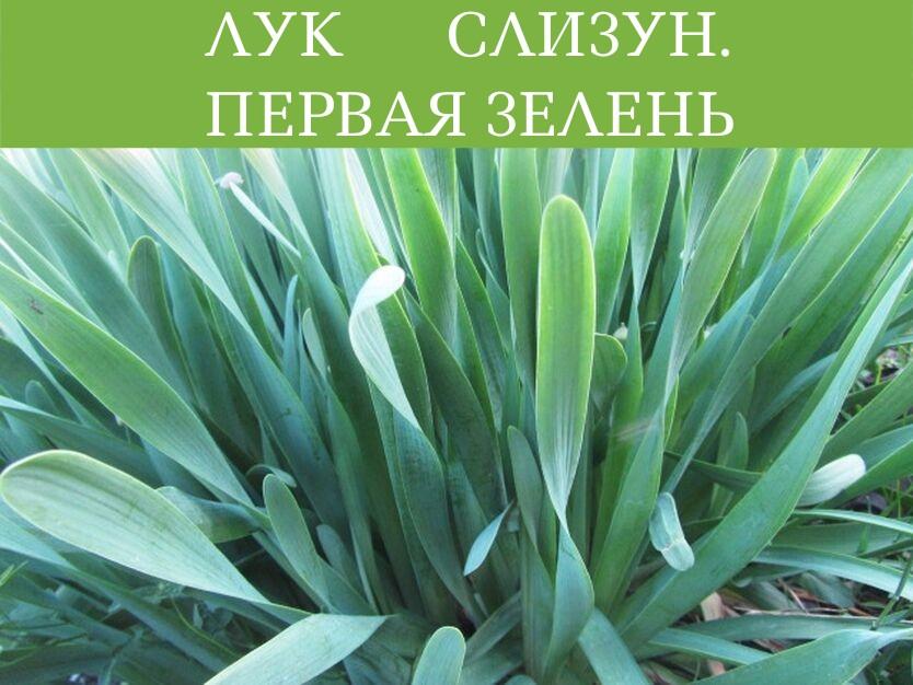 Лук слизун: выращивание и уход, описание сортов
