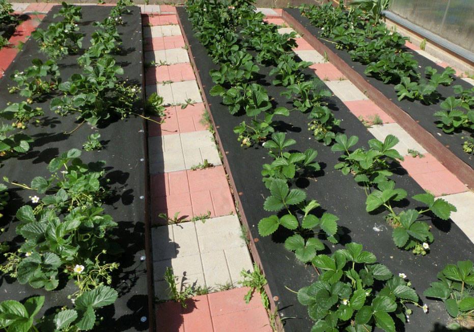 Выращивание клубники по голландской технологии, в том числе пошаговая инструкция для начинающих