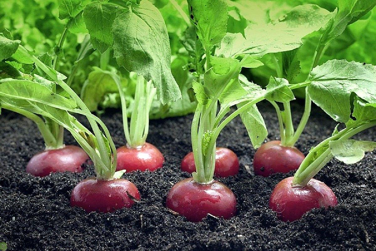 Сколько растет редиска в теплице: через какое время всходят семена разных сортов корнеплода, много ли дней им требуется для созревания и каковы сроки сбора урожая? русский фермер