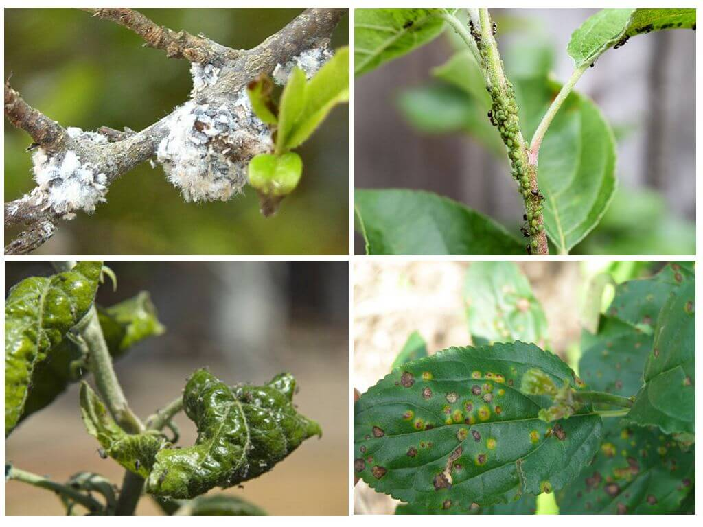 Борьба с тлей на садовом участке: эффективные препараты и народные средства