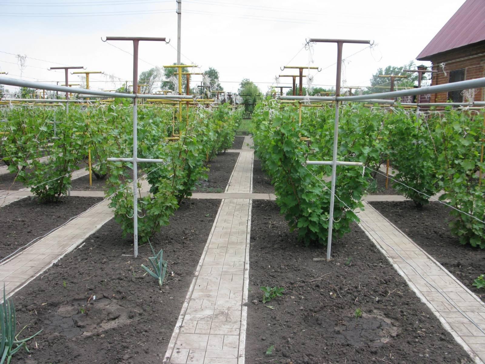 Посадка и уход за виноградом в сибири: инструкция для начинающих