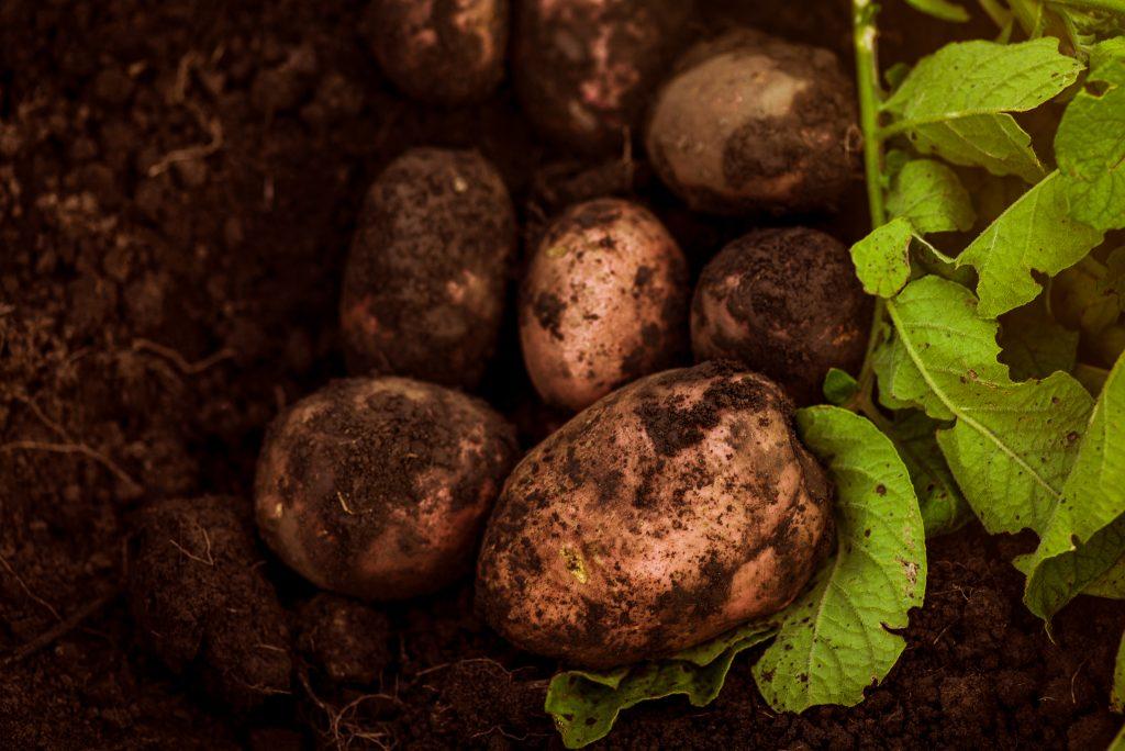 10 лучших сортов картофеля