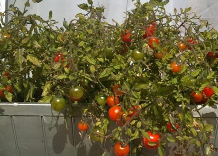 Как вырастить помидоры балконное чудо