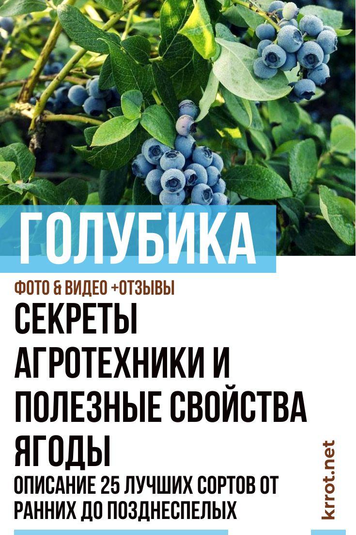 Голубика для сибири: лучшие сорта