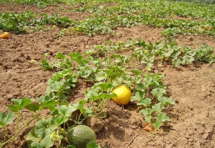 Выращивание дыни и уход за ней в открытом грунте и в домашних условиях: выбор сорта, подкормка, полив, как вырастить на шпалере