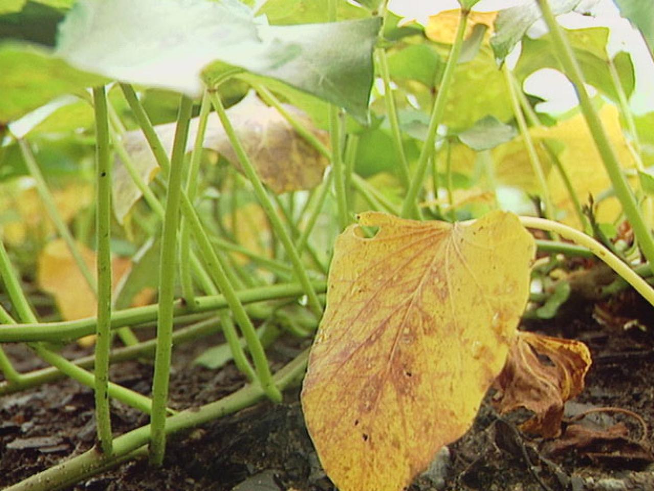 Почему желтеют листья огурцов в теплице причины и что делать