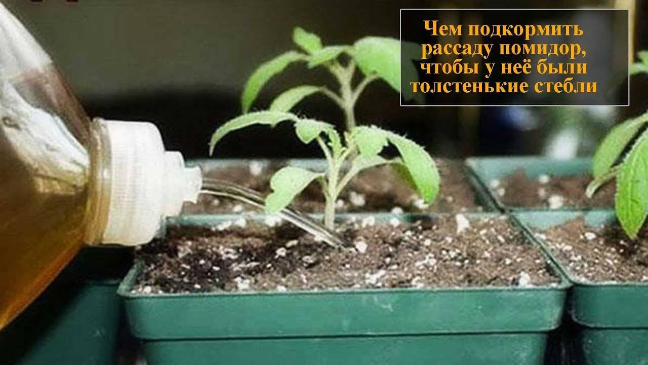 Чем подкормить рассаду помидор для толстоты, для лучшего роста и плодоношения