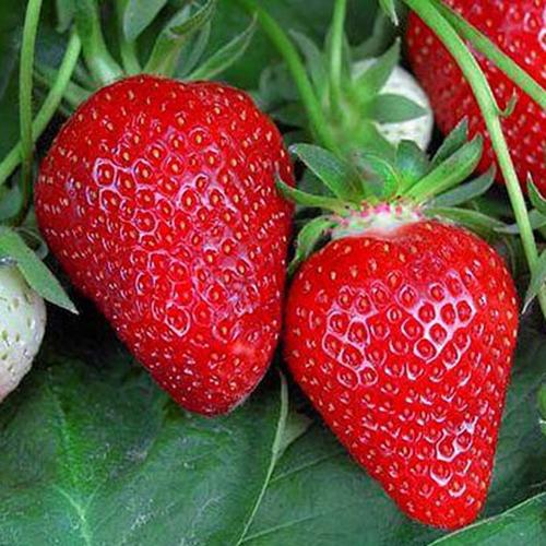 Клубника роксана: ягод будет очень много!