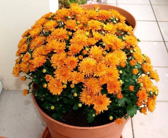 Хризантема: как и когда сеять на рассаду, ухаживать, высаживать в открытый грунт