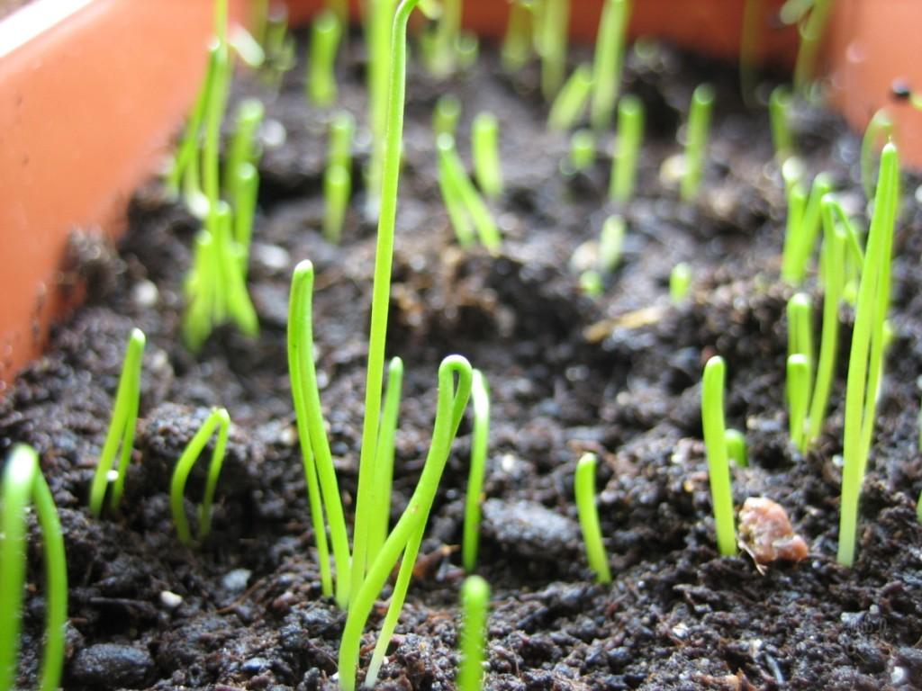 Лук-порей: выращивание и уход в открытом грунте, посадка на рассаду