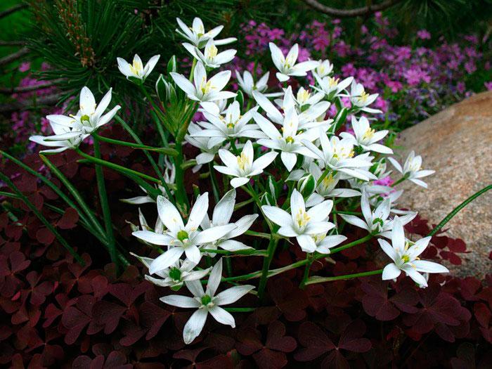 Птицемлечник: посадка и уход в открытом грунте, выращивание в саду
