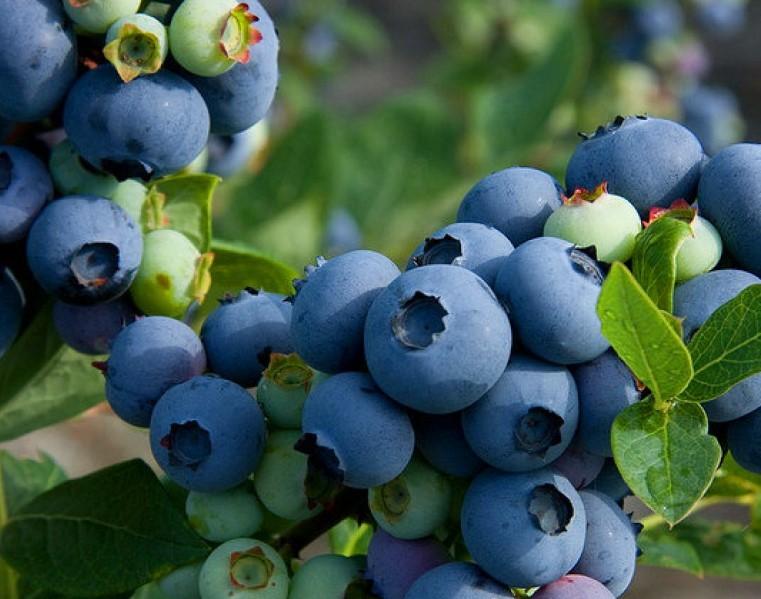 Голубика патриот: описание сорта, посадка и уход, опылители, преимущества и недостатки