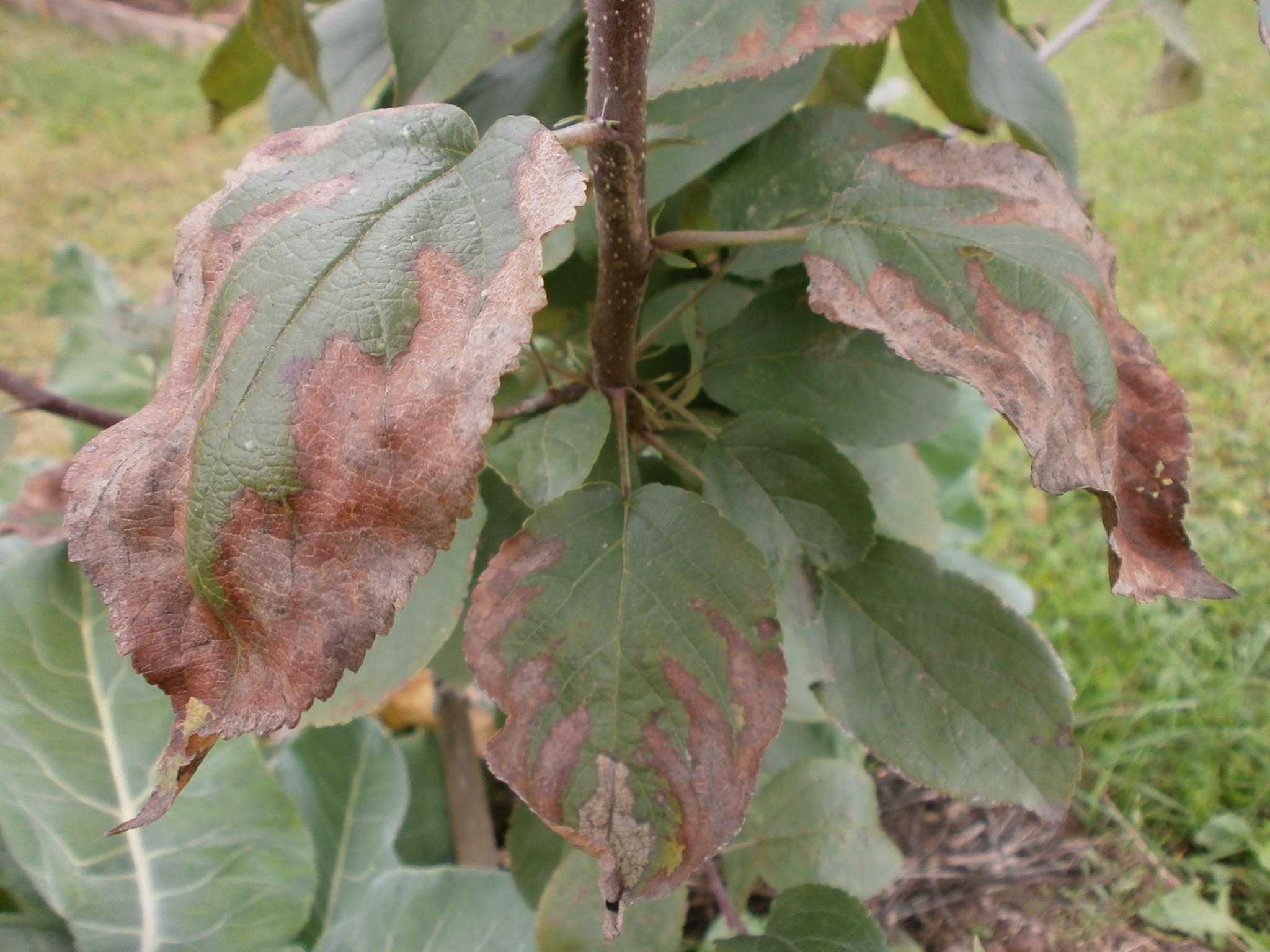 Сохнет яблоня: что делать, если засыхают ветки, как спасти дерево