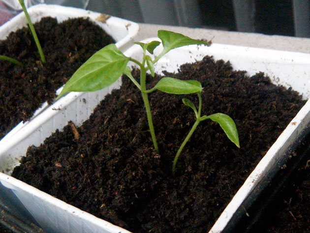 Холода не помеха — узнаем когда садить перец на рассаду в сибири: выбор и подготовка семян, сроки когда сажать, уход после пересадки в открытый грунт