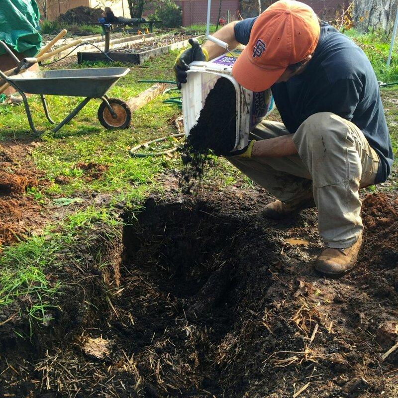 Облепиха, выращивание и уход на даче
