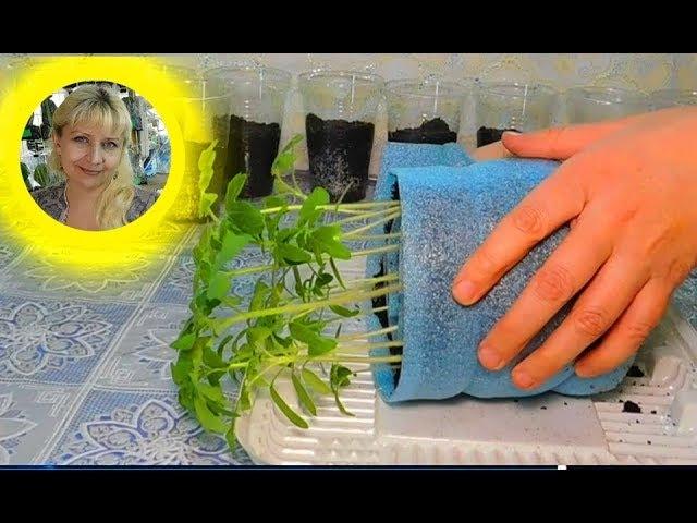 Посадка томатов в улитку на рассаду: посев и выращивание с видео
