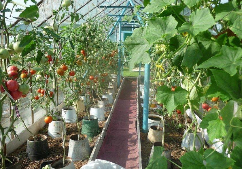 Выращивание помидоров в теплице: технология пленочной конструкции для получения урожая больших сладких томатов, как правильно выполнить посадку, полив и уход? русский фермер