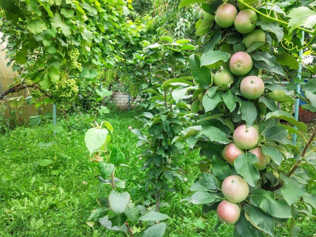 Описание колоновидной яблони сорта Малюха, посадка и уход