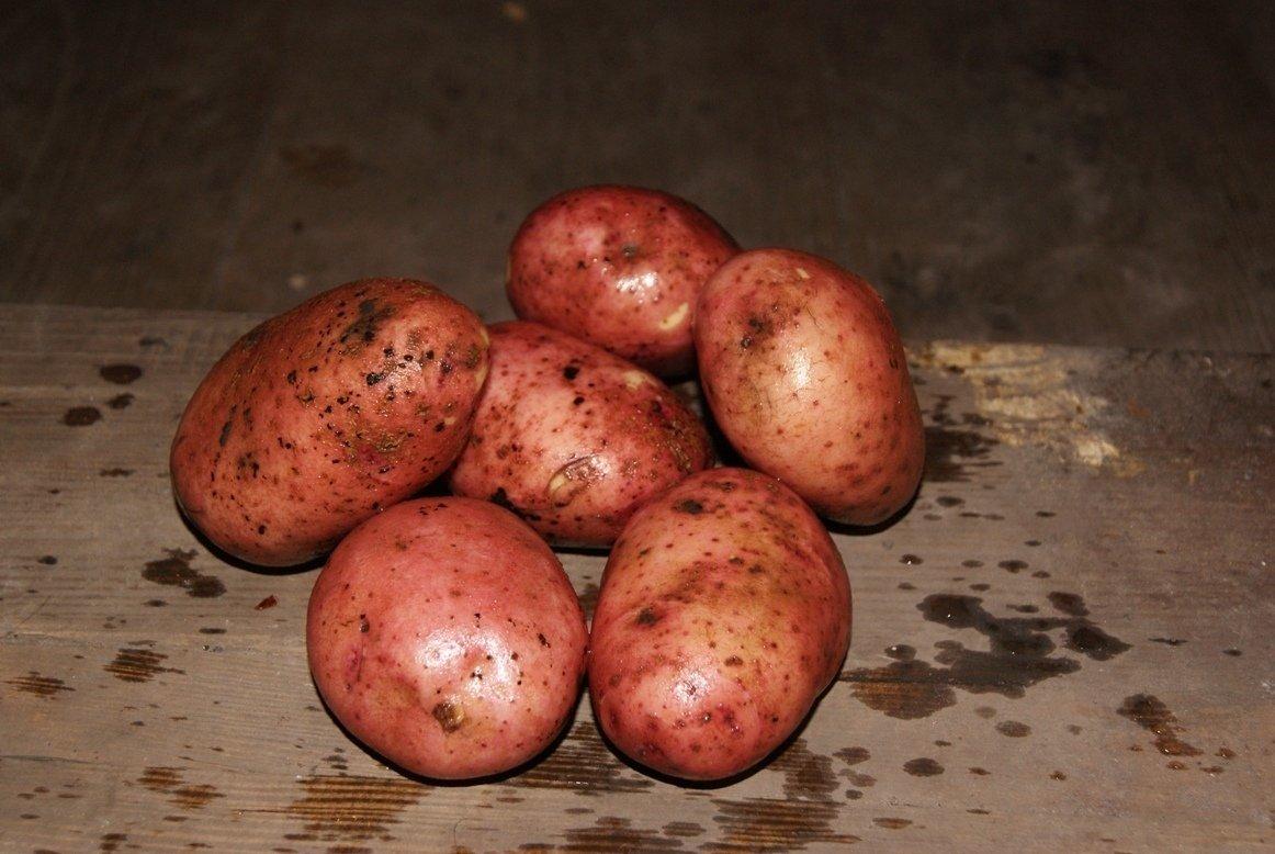 Картофель «журавинка»: описание, особенности выращивания