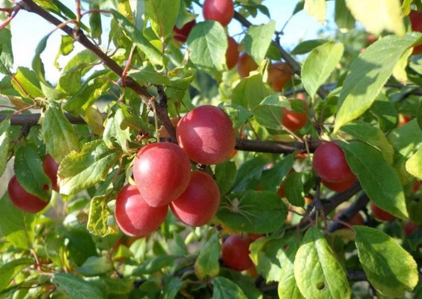 Алыча лама: описание сорта и опылители, посадка и уход, урожайность и плодоношение