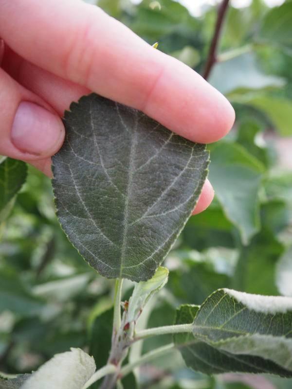 Что делать, если вянут листья у яблони и чем это лечить, причины и профилактика