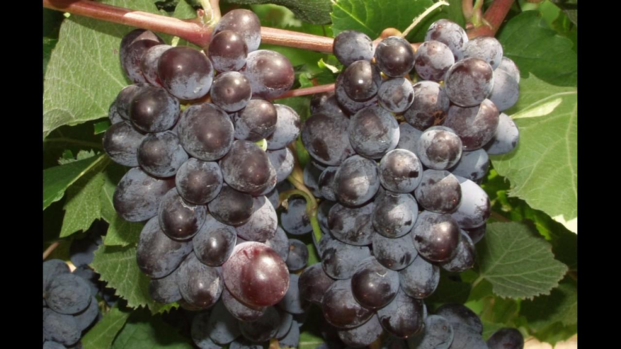 Сорт винограда кишмиш «юпитер»: описание и отзывы, много фото