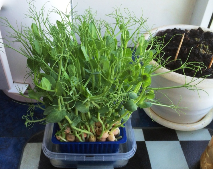 Как прорастить горох на подоконнике на посадку: выращивание в домашних условиях на балконе