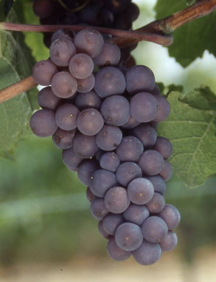 Виноград «пино нуар»: сочные ягоды для изысканного вина