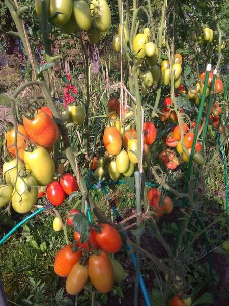 Томат сэр элиан f1 — описание сорта, урожайность, фото и отзывы садоводов