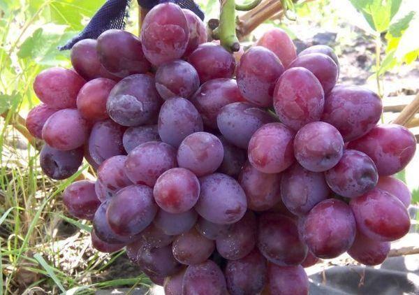 Виноград подарок несветая - описание сорта, фото, отзывы