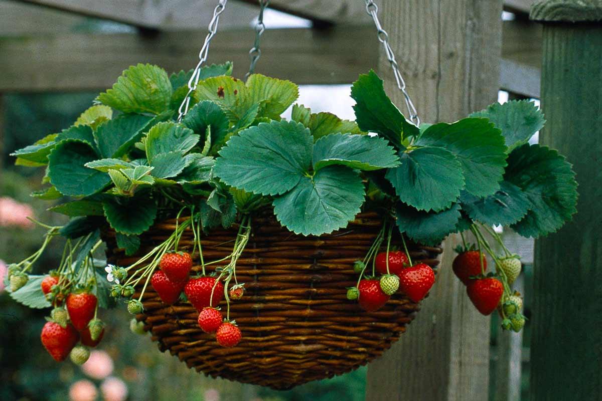 Выращивание клубники в горшках — особенности метода