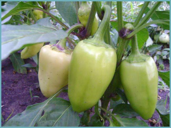 Перец первая ласточка (сладкий): отзывы о семенах уральский дачник, описание сорта