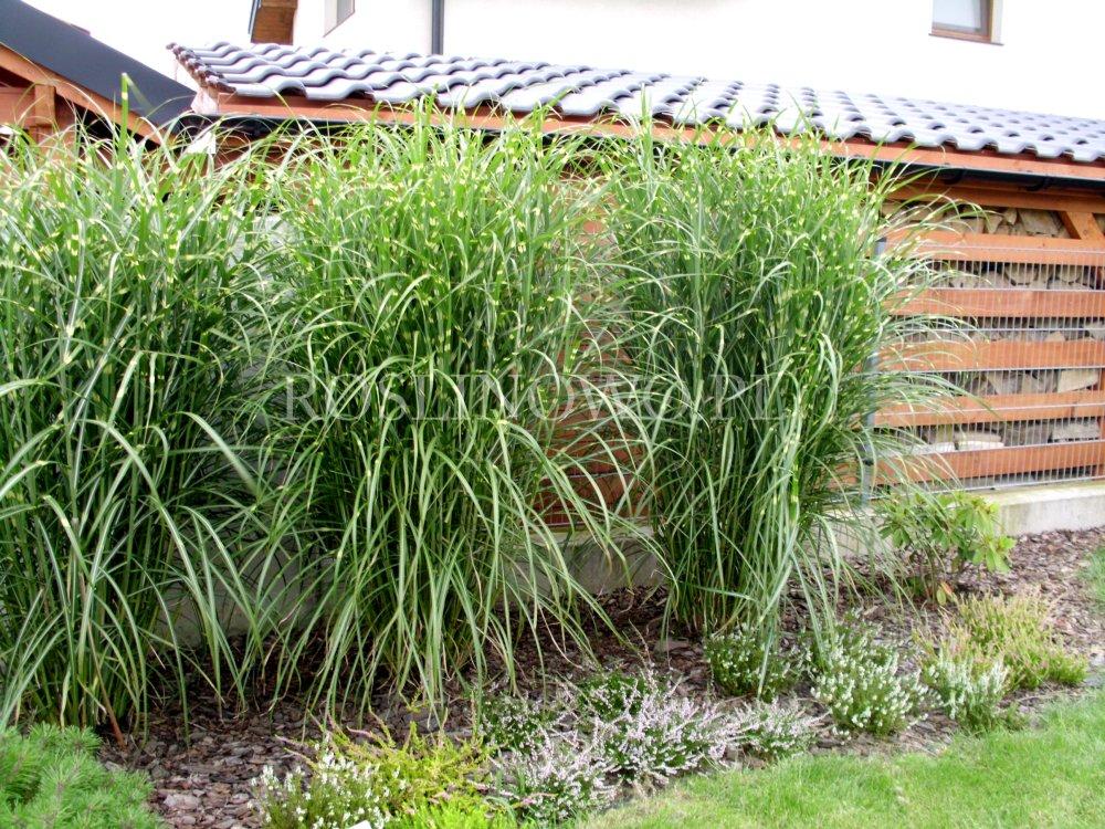 Мискантус посадка и уход в открытом грунте в подмосковье - сад и огород