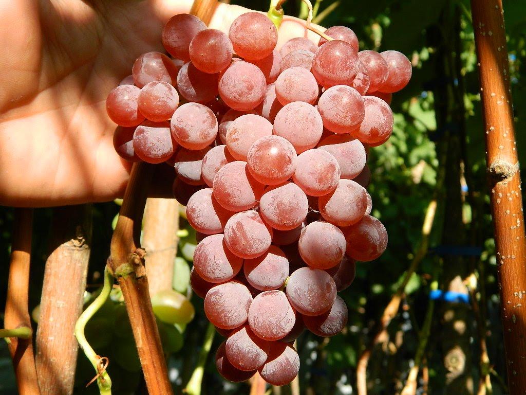 Описание и характеристики сорта винограда Юпитер, выращивание