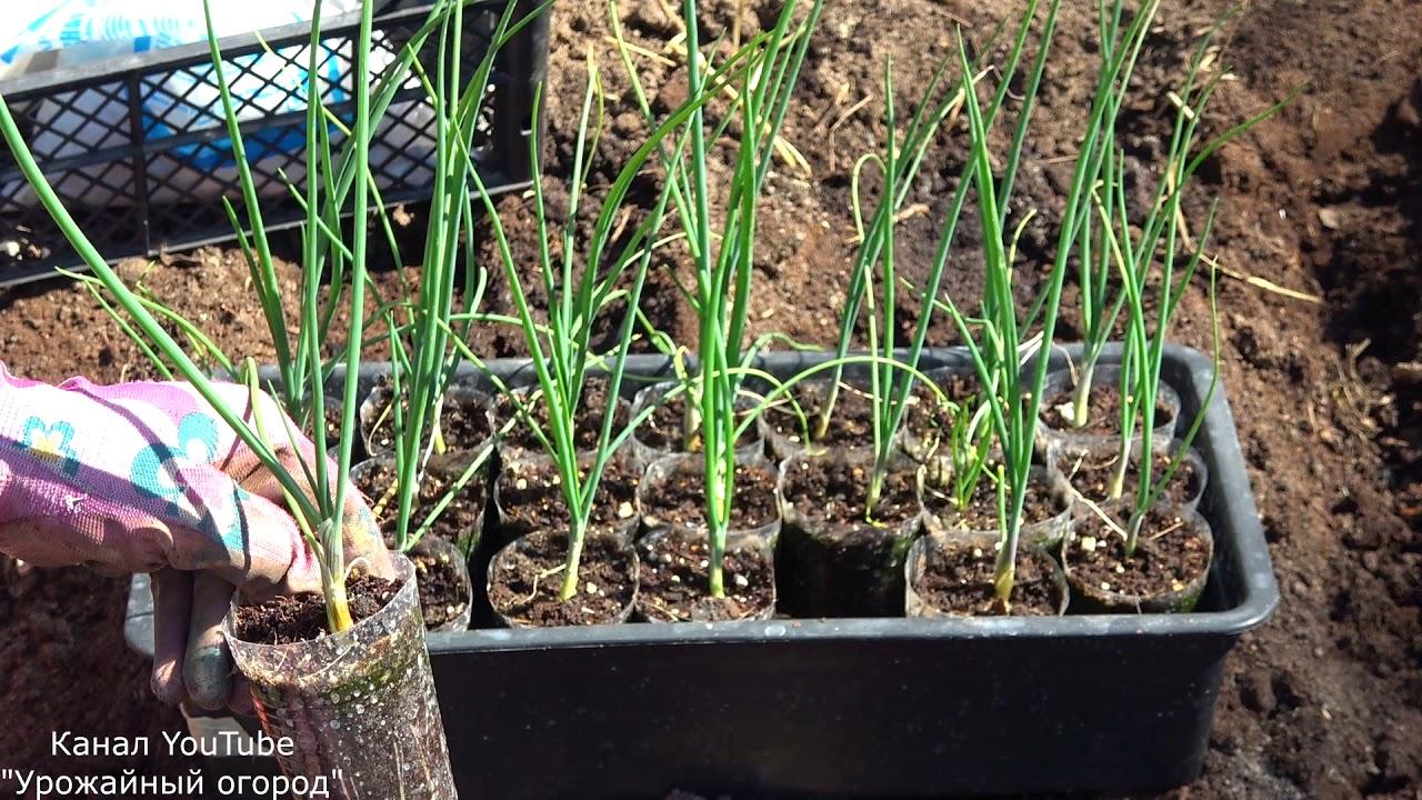 Лук эксибишен: выращивание через рассаду и правила высадки
