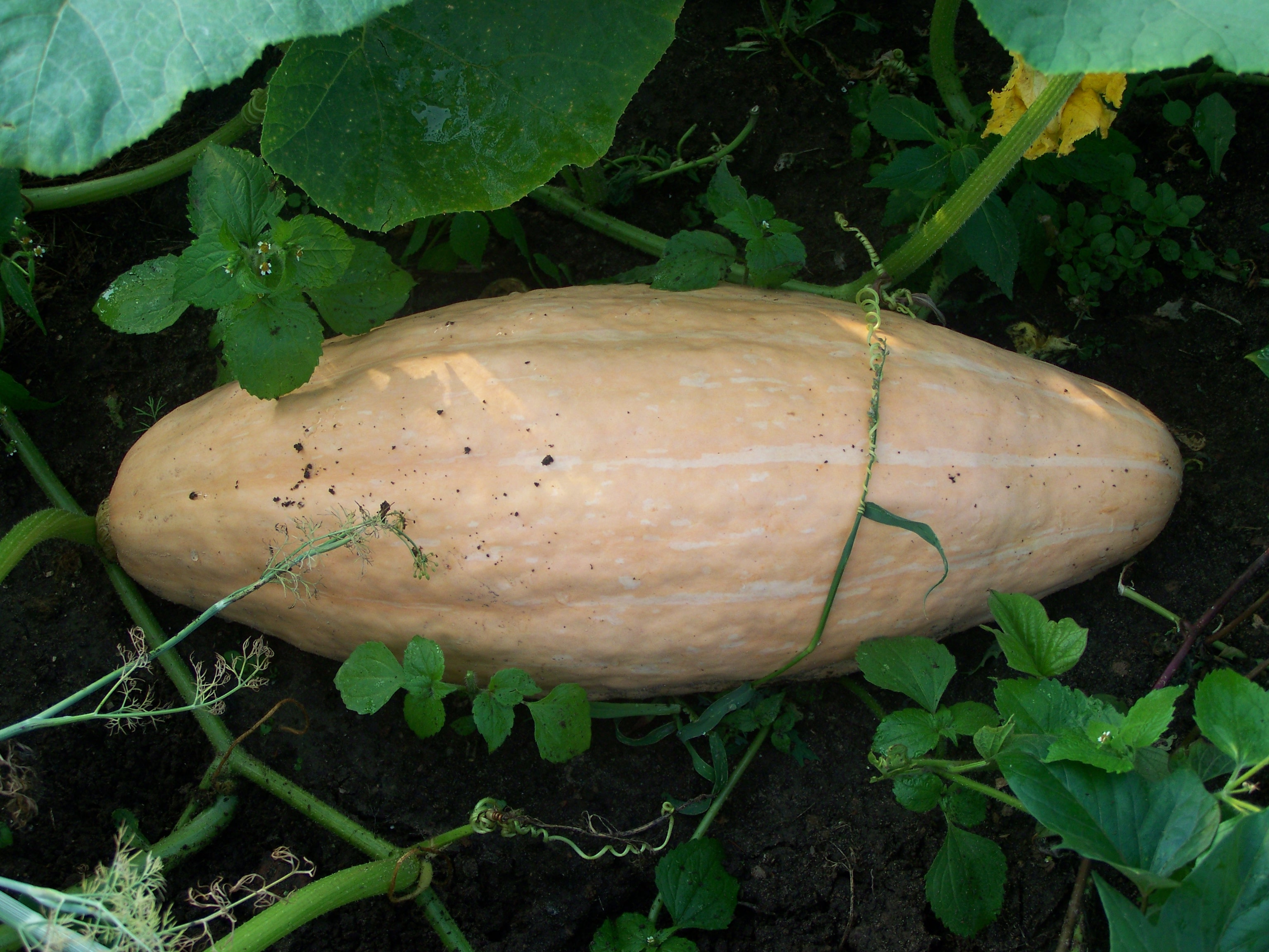Посадка тыквы семенами в открытый грунт в июне 2020 года и полная агротехника выращивания |