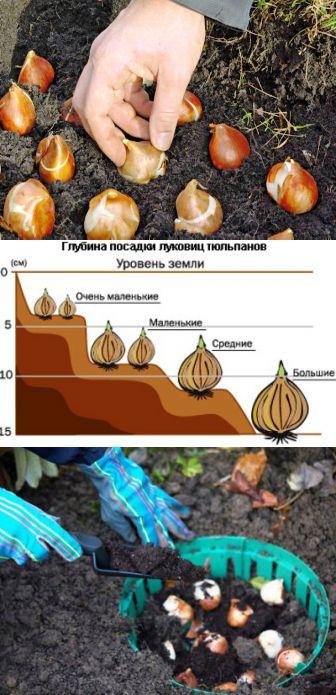 Технология посадки тюльпанов в корзины