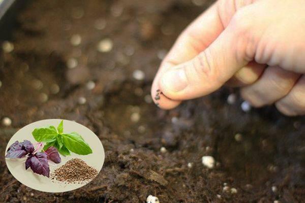 Чем подкормить базилик на грядке в открытом грунте и в домашних условиях на подоконнике, как ускорить рост и можно ли удобрять самодельными смесями? русский фермер