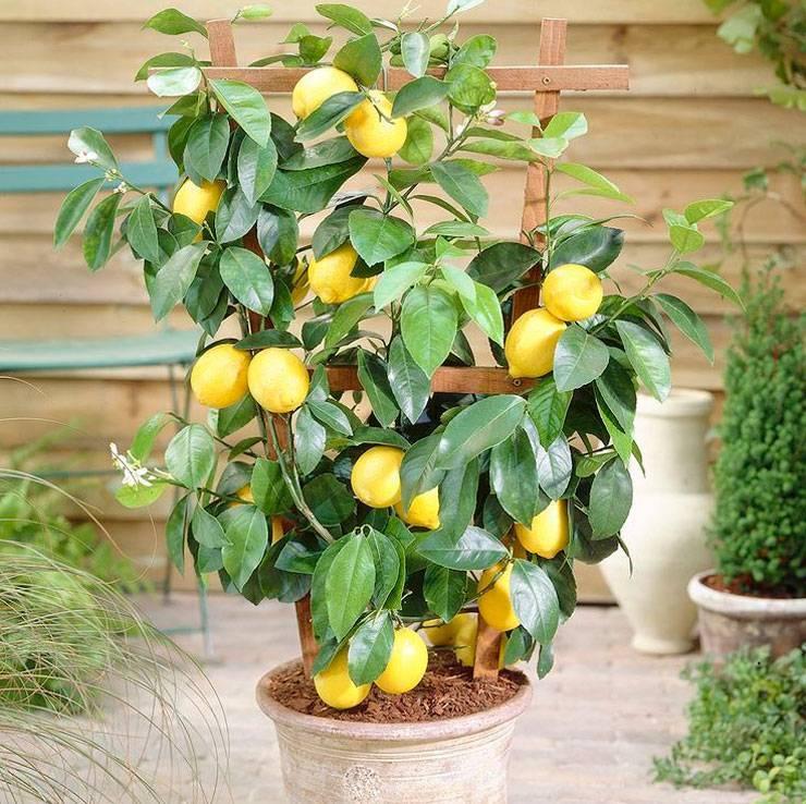 Апельсиновое дерево в домашних условиях- выращивание, уход и размножение