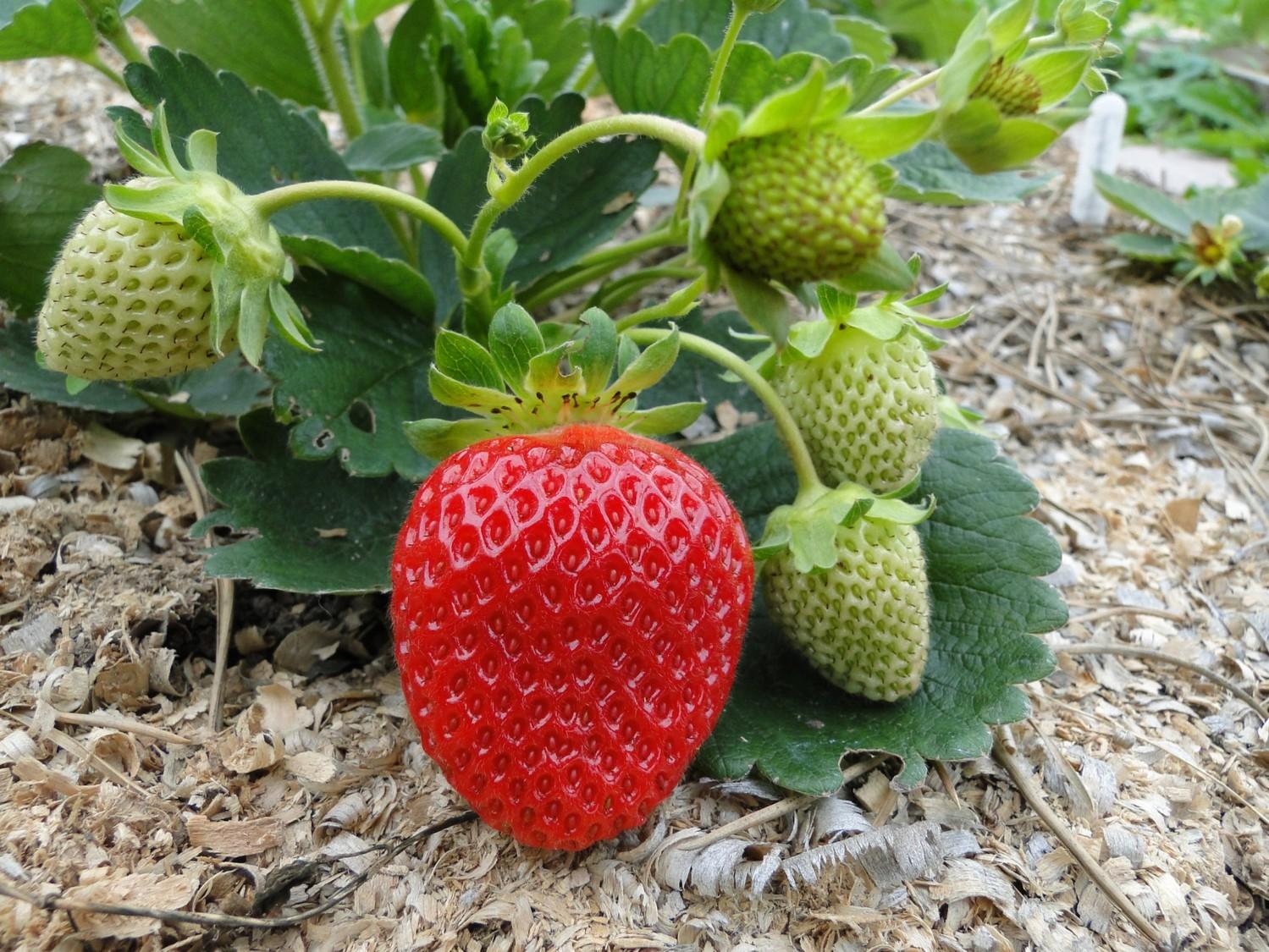 Ремонтантная клубника: выращивание и уход, правила посадки, лучшие сорта