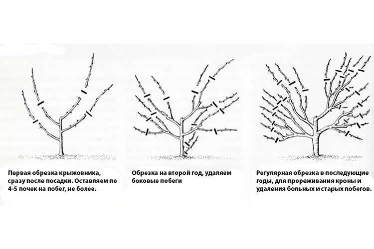Обрезка крыжовника весной, осенью и зимой: схема и особенности