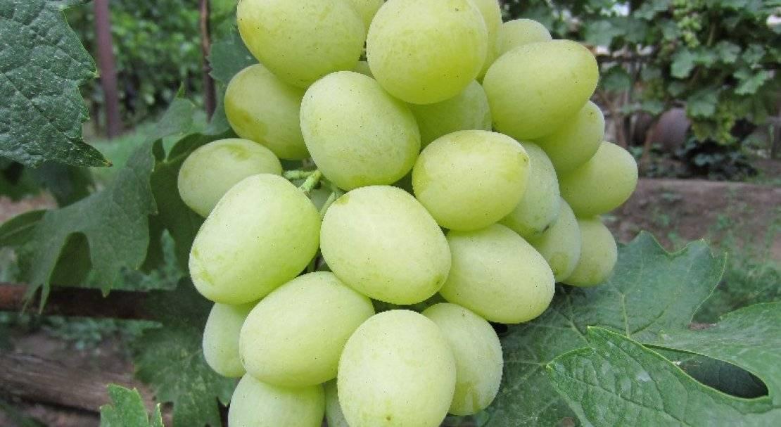 Виноград кеша описание сорта, фото, посадка и уход