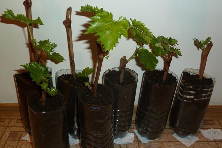 Виноград с очень ранним сроком отдачи урожая супер экстра. внешний вид, плюсы и минусы
