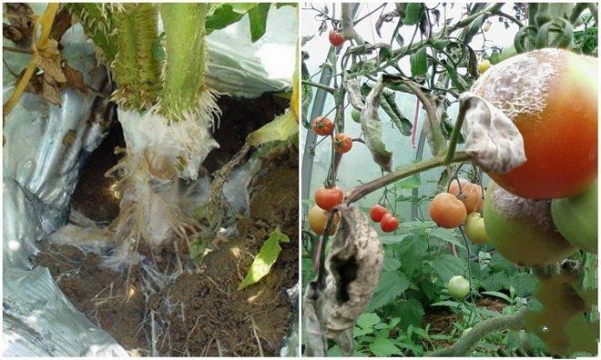 Поражение томатов серой гнилью и борьба с заболеванием