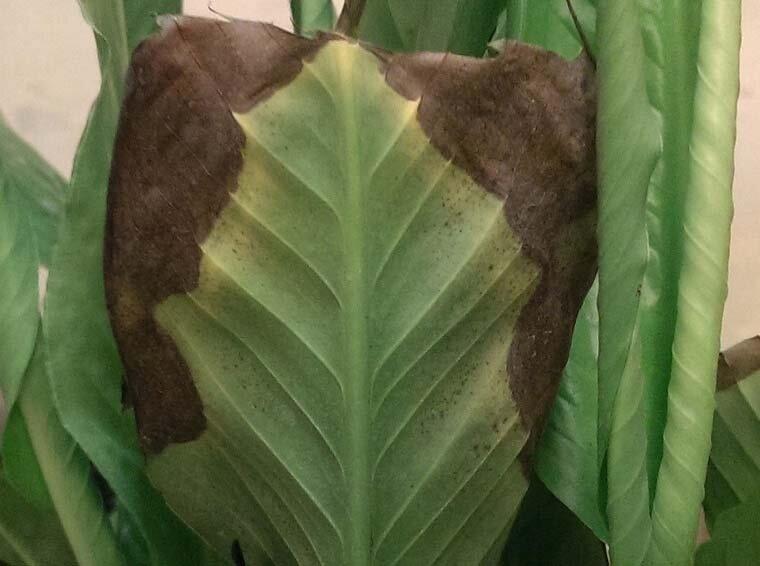Почему вянут листья у свеклы: подробное описание причин, а также пошаговая инструкция что делать, чтобы вылечить ботву растения