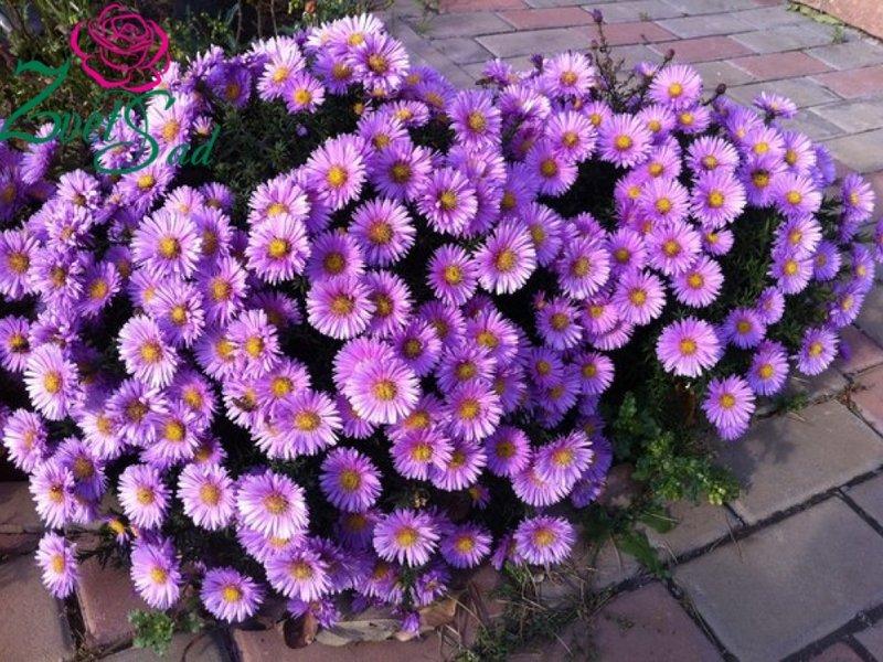 Астры (74 фото): как выглядят листья многолетних цветов? названия видов травянистых растений для открытого грунта. осенние и другие астры для клумбы