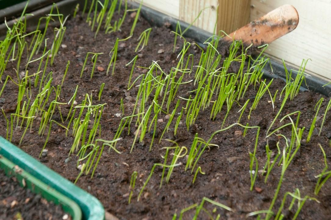 Посадка лука на головку весной в открытый грунт: когда лучше и как правильно сажать севок, чтобы вырастить хорошую крупную репку, стоит ли осенью, какой уход нужен?