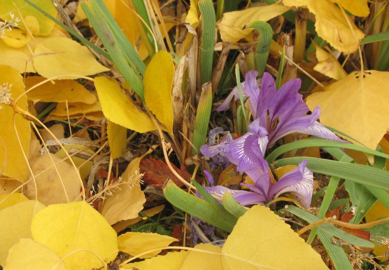 Жёлтый болотный ирис: украшаем сад неприхотливым красавцем